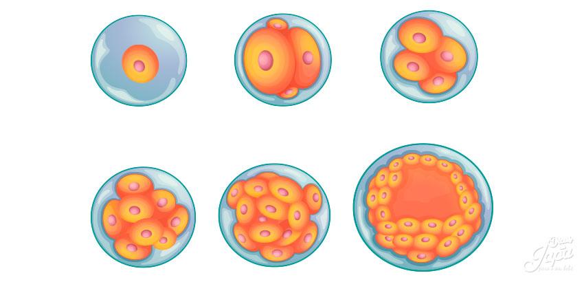 primeiras-semnas-blastocisto